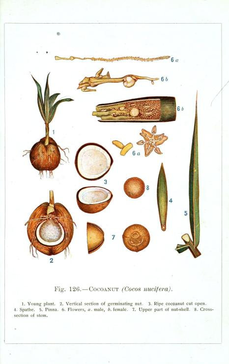 Botanical-Educational-Plate-Coconut-plant